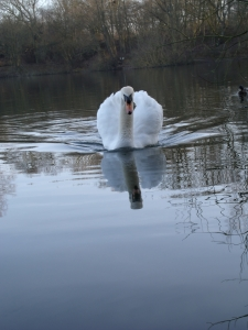 On Golden Pond the lone swan