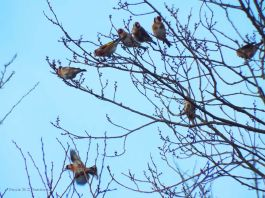 Charm of goldfinches 291215