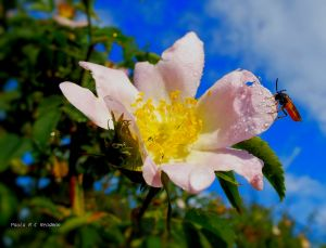 Bug and rose 13616